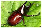 独角仙标本、北京甲虫标本批发