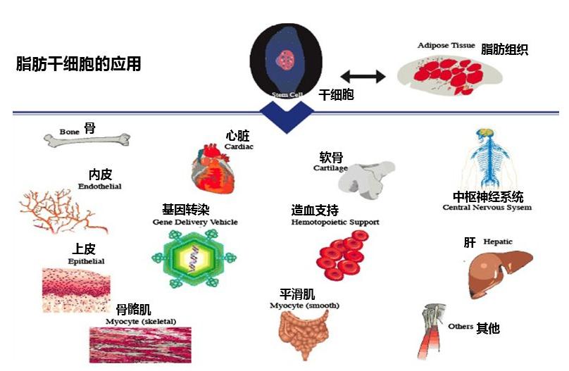 干细胞应用