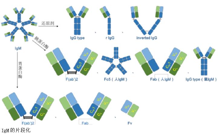 igm抗体结构图