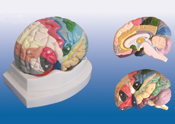 24,31,32,33区 11 海马旁回(黄色)27,28,34区 大脑皮质分区模型模型