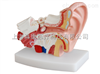 桌上型耳解剖模型