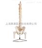 自然大脊椎附骨盆、半腿骨模型